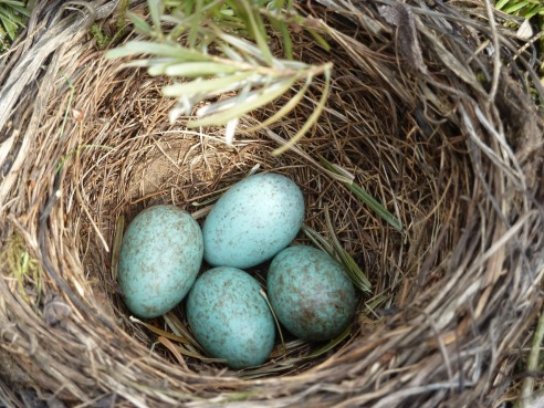 blackbird-nest-2206124_1280